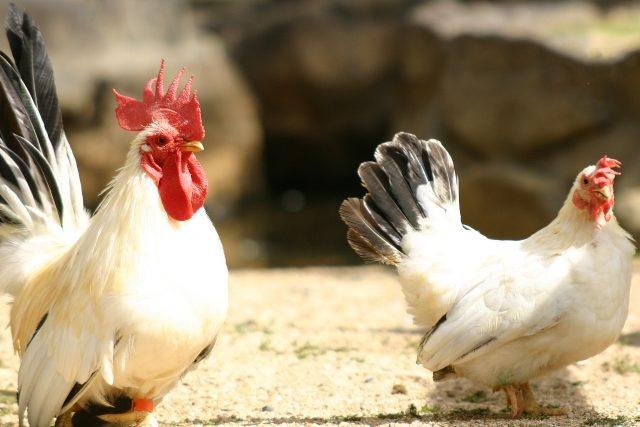 鶏コケコッコー